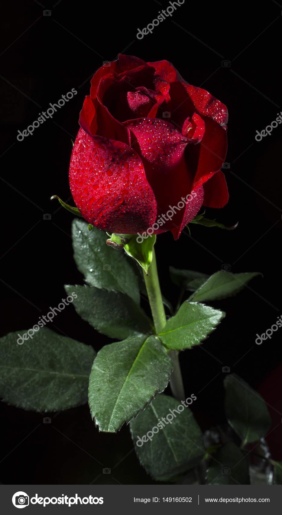 Immagini Nero Con Una Rosa Fiore Di Una Rosa Rossa Su Sfondo Nero