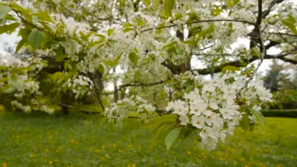 Beautiful Big Tree With White Flowersslow Motion Stock Video