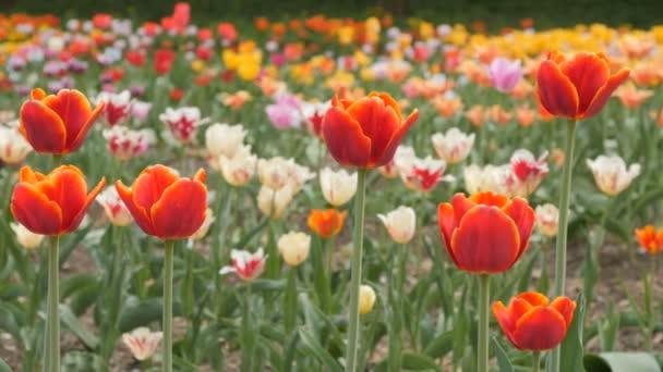 červené tulipány, kvetoucí closeup - jezdec výstřel