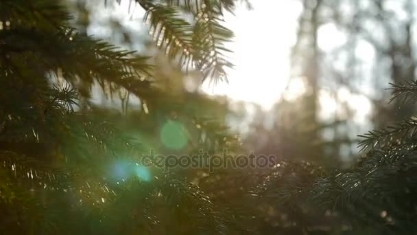 Západ slunce panoramatický pohled kouzelné lesní scény s působení slunce přes větev borovice