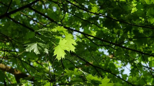 Nézetet a maple leaf fa, zöld levelek, a kék ég.