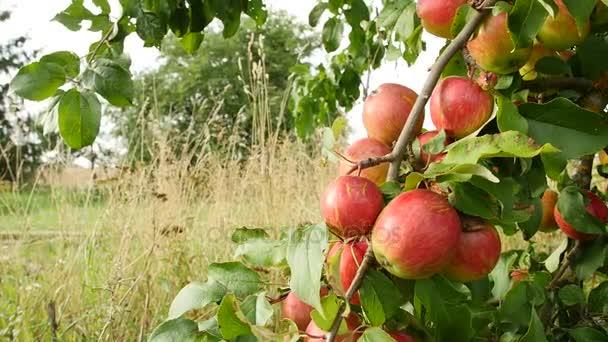 Gyümölcsök alma piros Alma városban a növekvõ szoros látképe.