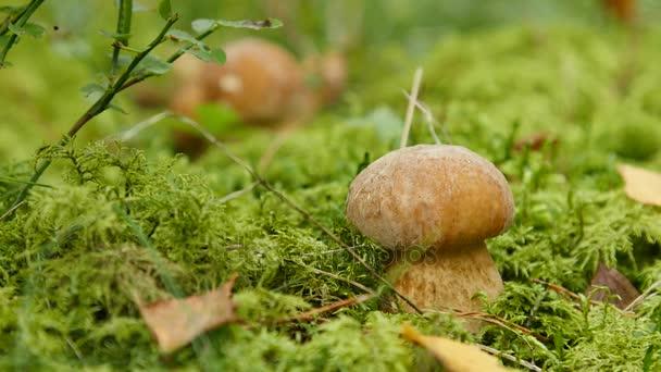 Két gomba növekedését az erdőben. Ízletes vargánya