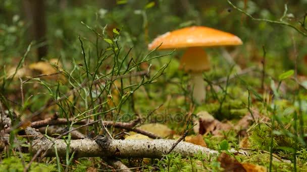 Pilz im Herbstwald zwischen Moos und Bäumen, hautnah