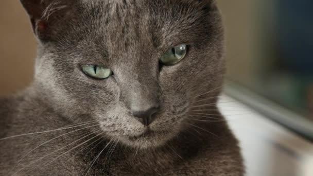 Ospalý Ruská modrá kočka, zblízka, Hand Held fotoaparát.