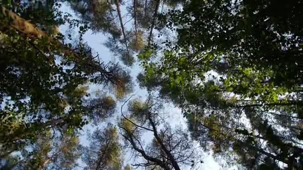 Look up to the blue sky in green woods through the tall trees, rotating and dreaming