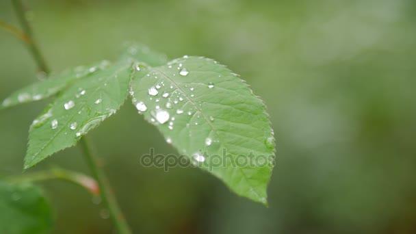 Nahaufnahme von Tau auf grünem Rosenblatt.