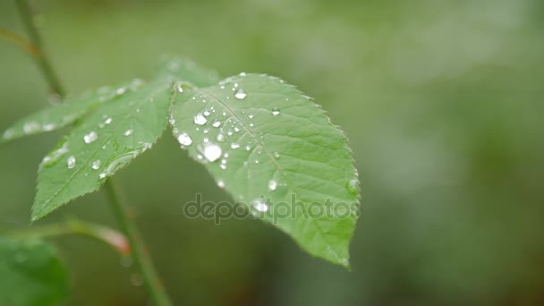 Detail z rosy na zelený list růže.