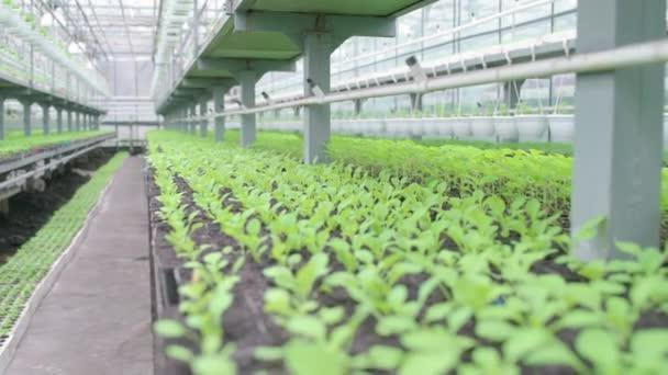 Növénytermesztés melegházban, mezőgazdasági üzem, virágtermesztés, növénytermesztés