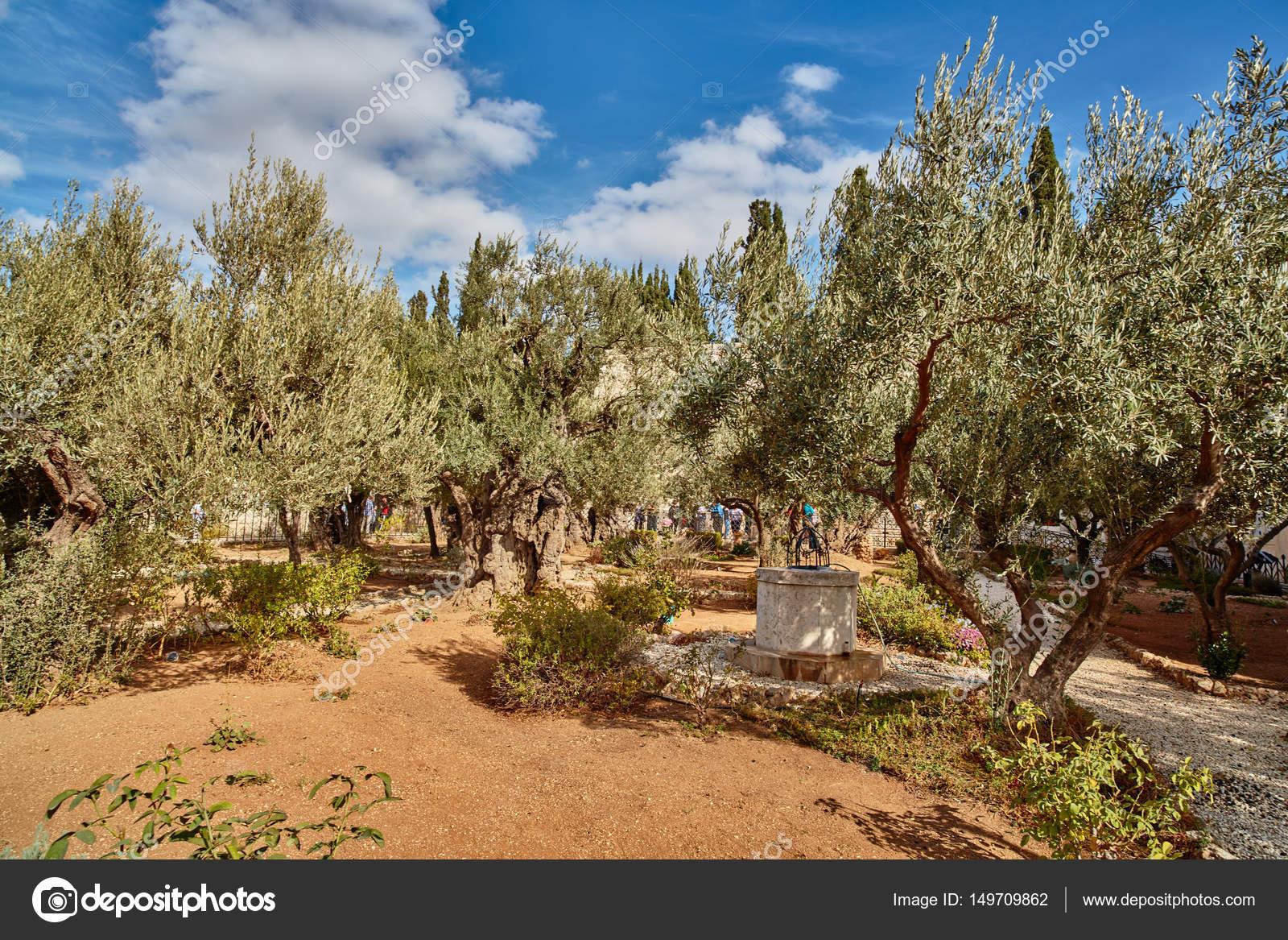 Gethsemane olive garden, Jerusalem — Stock Photo © rasika108 #149709862
