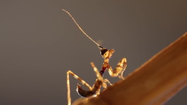Young mantis in evening light, macro footage 1080p
