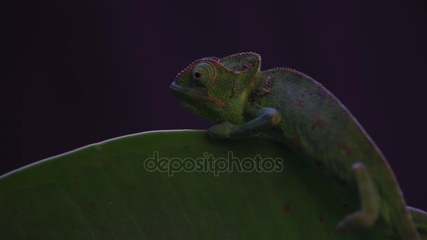 Chameleon na šťavnaté rostlině, černé pozadí záběry