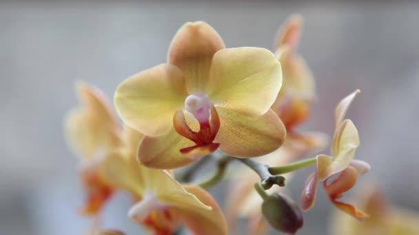 krásné žluté orchideje