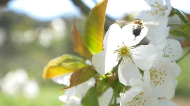 Bee flying over cherry tree flowers