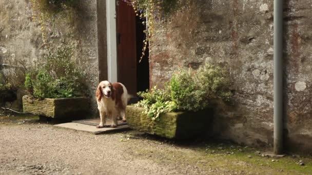 kokršpaněl pes doma dveře