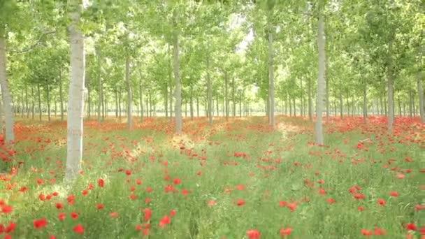 červené Vlčí máky pole