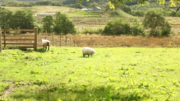 Ovce jíst trávu na farmě