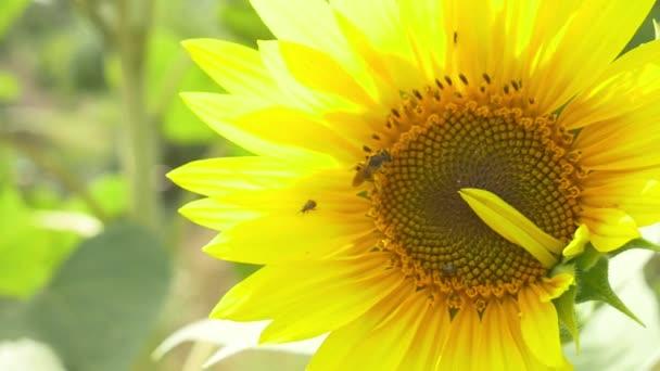 Méhek a virágzó napraforgó