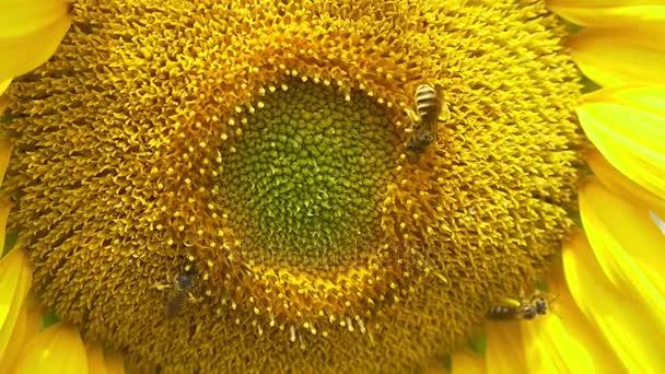 Včely na kvetoucí slunečnice