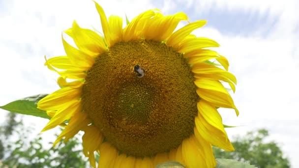 Čmelák na kvetoucí slunečnice