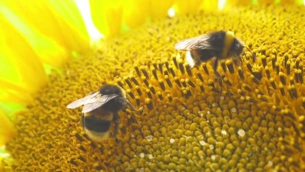 Čmeláci na kvetoucí slunečnice