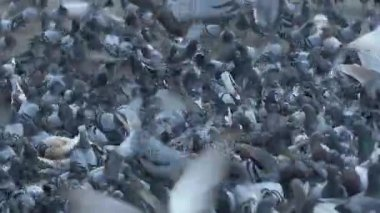 pigeons in urban environment