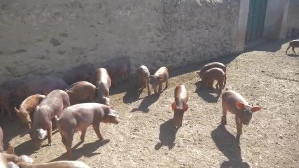 kis sertések befejezze az első helyen a farm