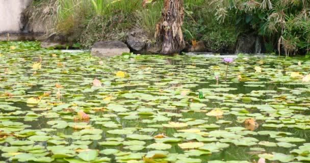 květy leknínů v zen zklidnění krásné jezero nebo rybník s malými rybami plavání na klidné pozadí