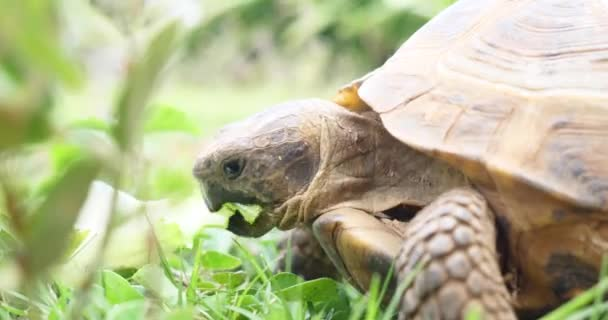 Turtle Testudo hermanni eats watermelon and green leaves, cute endangered animal, tropical wildlife eating fruit close up