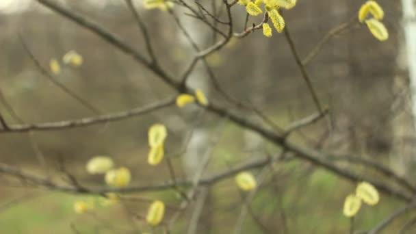 vrbové větve na povaze