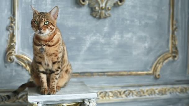 Bengal Cat Portrait - Pedigree Cat