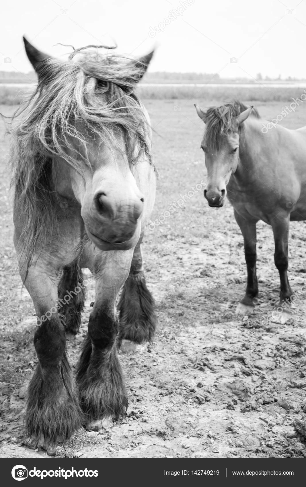 Photos Black And White Wild Horses Black And White Picture Of European Wild Horses Stock Photo C Bjorn999 142749219