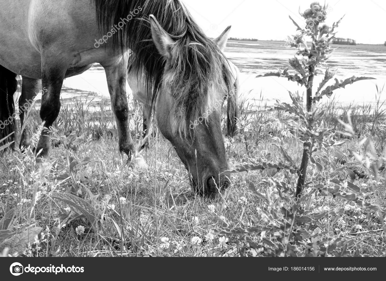 Wild Horses Black And White European Wild Horses In Black And White Stock Photo C Bjorn999 186014156