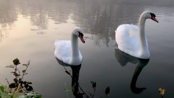 Ein Paar eleganter Schwäne