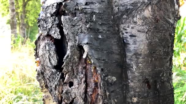 Powerful broken tree bark with bright green leaves
