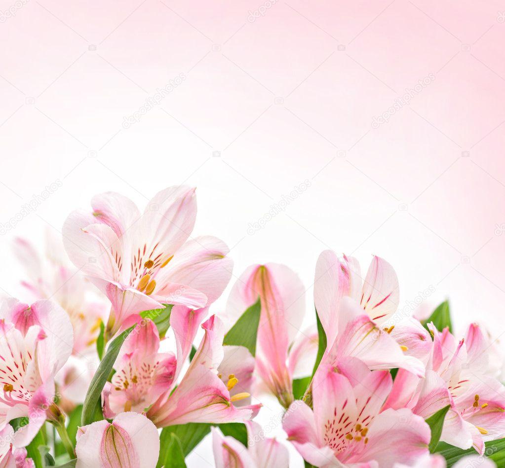 Fondo Flores Rosadas En Blanco Flores Rosas Sobre Fondo Blanco