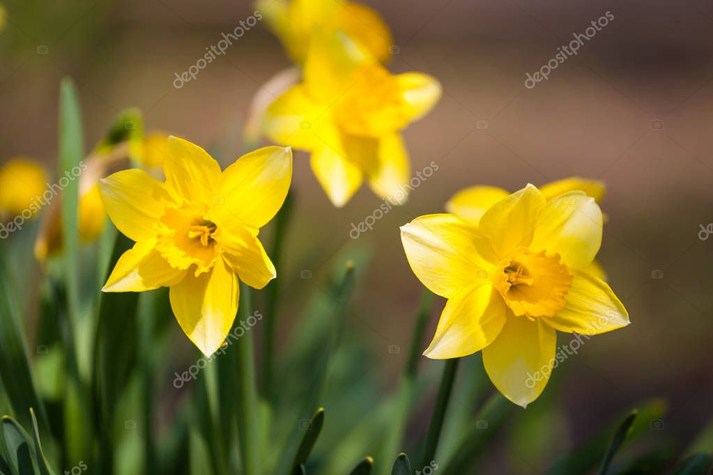 fleur jonquille jaune dans le domaine fleurs jonquilles au soleil champ de jonquilles jaunes ou jaune narcisse ou suisen image de bondvit - Fleur Jonquille