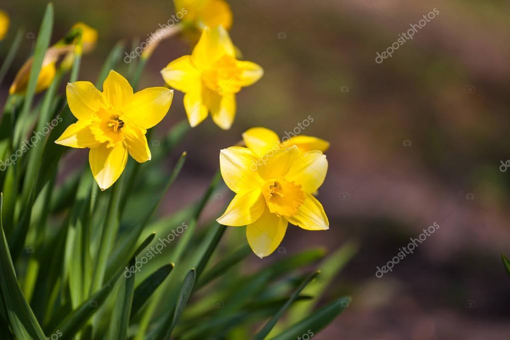 Fleur Jonquille Jaune Dans Le Domaine Fleurs Jonquilles Au Soleil