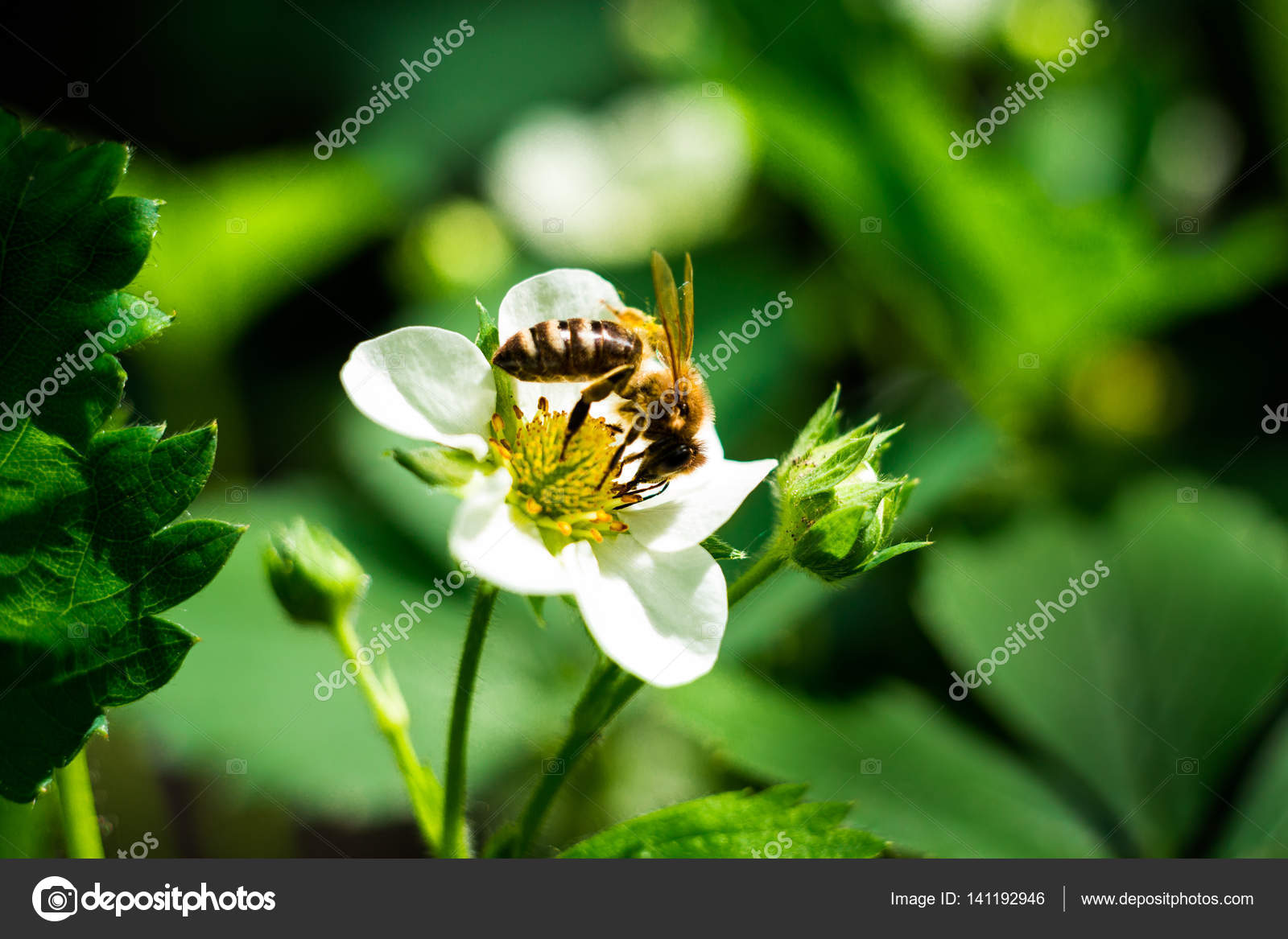Bee On A Flowerwhite Flower Strawberrystrawberry Flower And Leaves