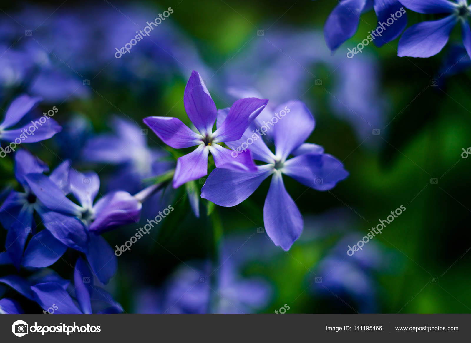 Beautiful Blue Flowers Close Upblue Lilac Flowers With Water Drops