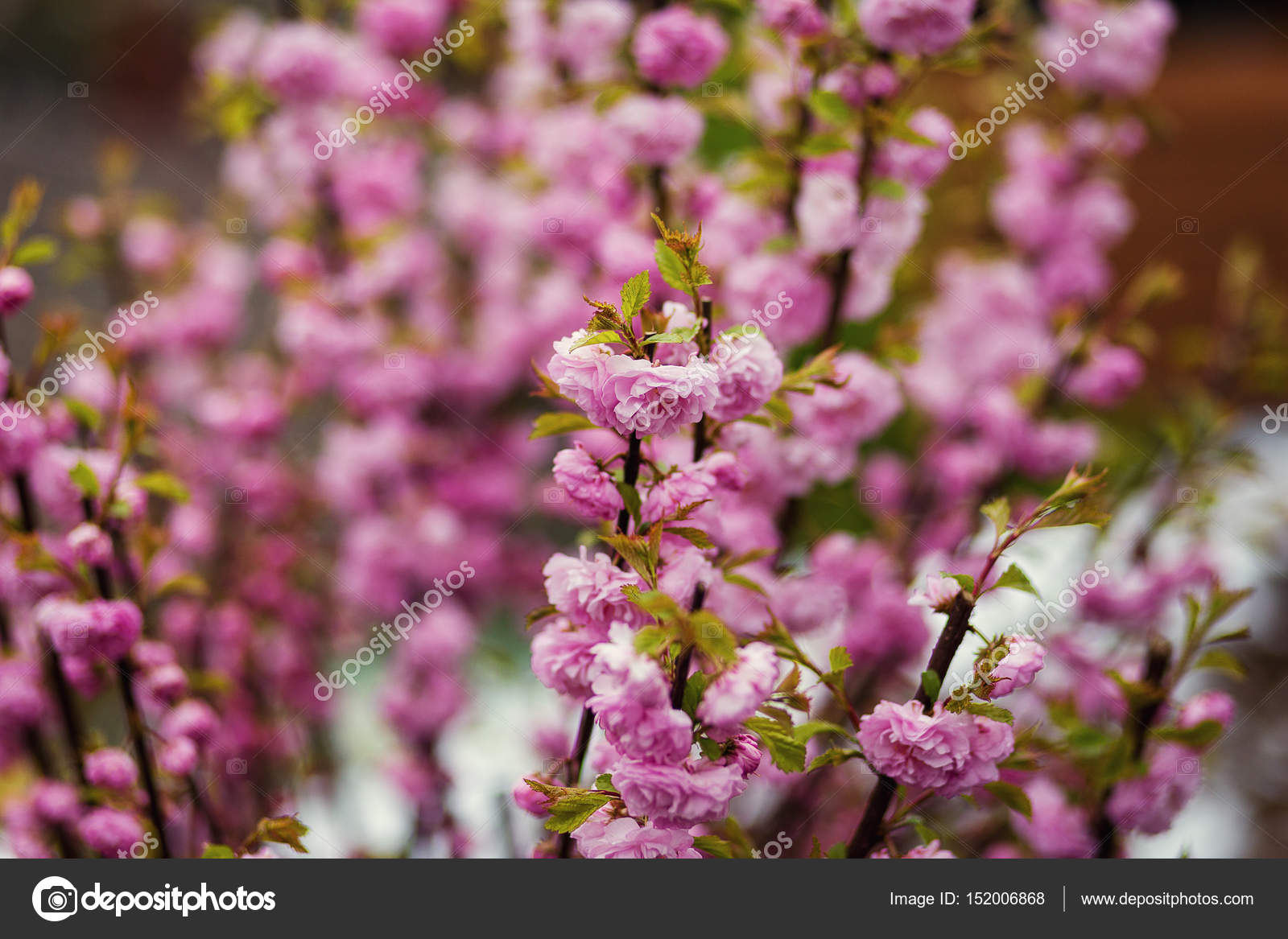 Branch with bright beautiful pink flowers of hawthorn treepink branch with bright beautiful pink flowers of hawthorn treepink hawthorn flowers flowers hawthorn tree crataegus laevigataspring natural background mightylinksfo