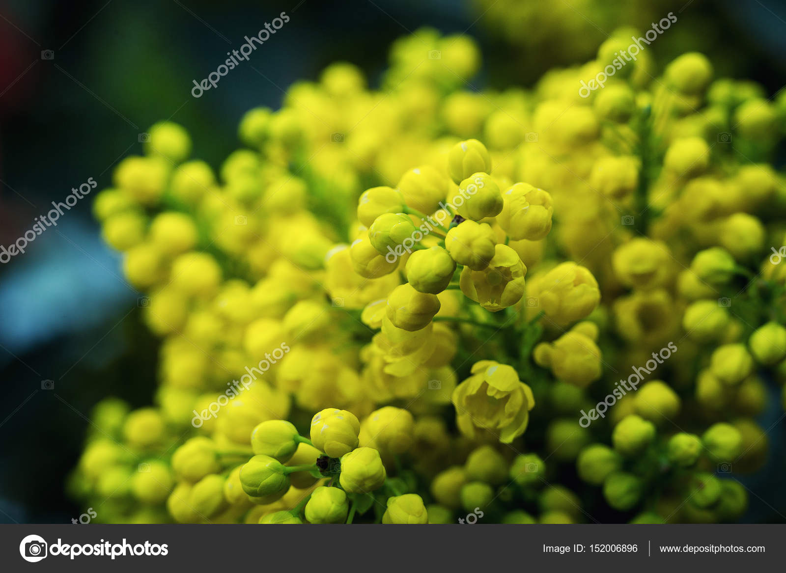 Blüte Mahonia Aquifolium Mahonie wilde Blume Holly Blume Blätter