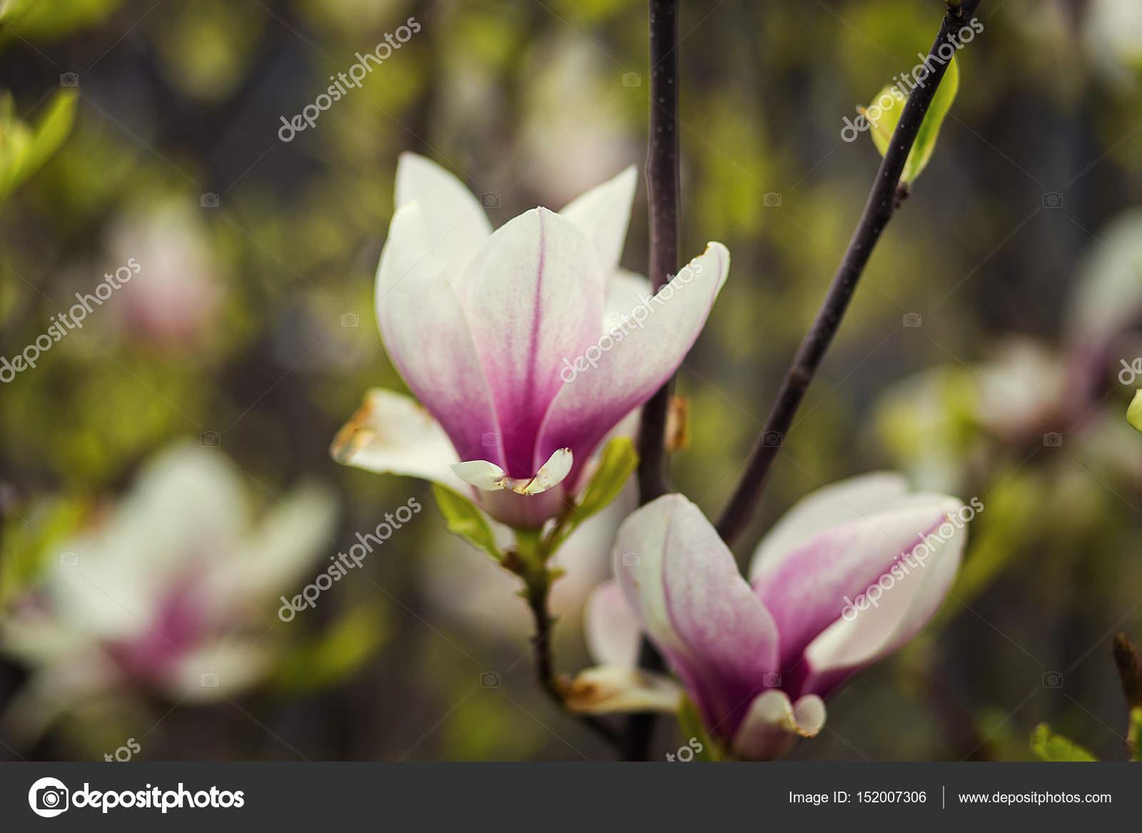 A Magnolia Blossombeautiful Spring Bloom For Magnolia Tulip Trees