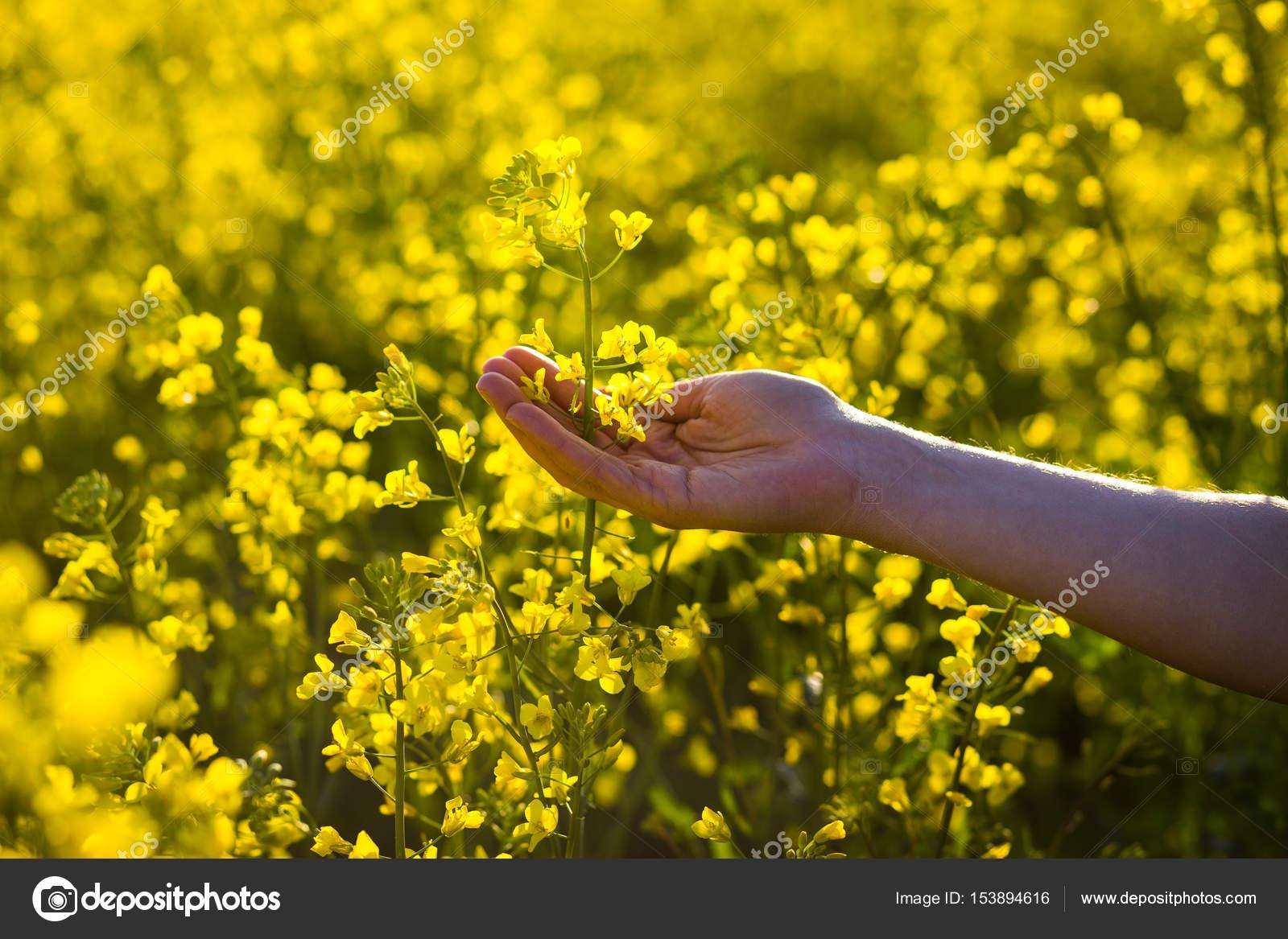 Female hands touching rape flowersuch with naturefemale hand female hands touching rape flowersuch with naturefemale hand touching yellow flowers mightylinksfo