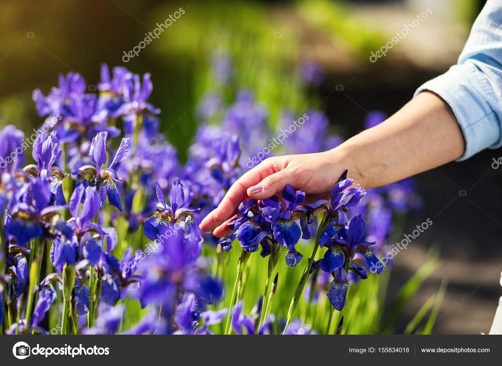 Female hand touching iris flowerblue iris flower in the garden female hand touching iris flowerblue iris flower in the garden blossomfemale hands izmirmasajfo Gallery