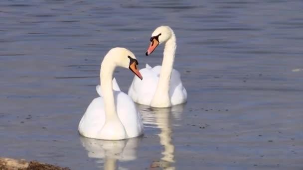 zwei schöne weiße Schwäne schwimmen auf der Suche nach Fischen auf dem Abrau-See