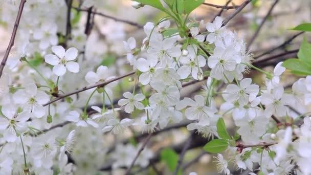 gyönyörű cseresznye virágok.
