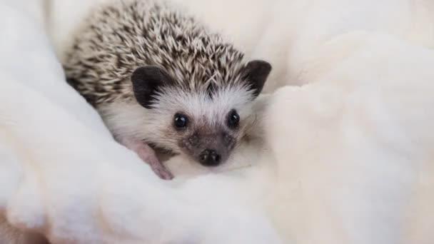 Cute little African pygmy hedgehog  on white cloth.