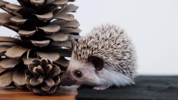 Cute little African pygmy hedgehog   with pinecone indoor.