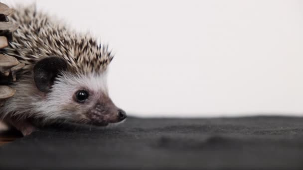 Cute little African pygmy hedgehog  indoor, copy space on white background.